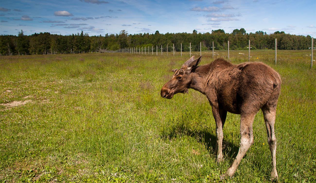 Tag along to Gårdsjö Älgpark, and hang out with the moose in their natural habitat